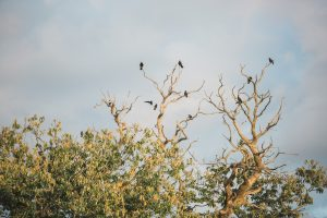 birds in trees at Elmore court