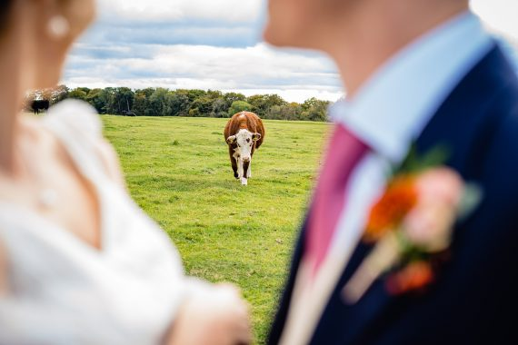 cow in field micro wedding photographer gloucestershire